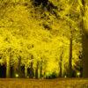 茨城県立歴史館 イチョウ ライトアップ