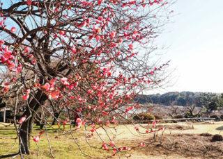 今の偕楽園の梅はこんな感じ。
