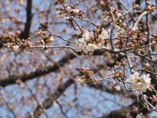 三の丸の桜も開花したそうで、近所の公園の桜は?