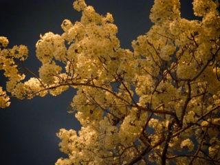 真っ暗な中の桜さん撮影は僕の機材と腕じゃ無理!
