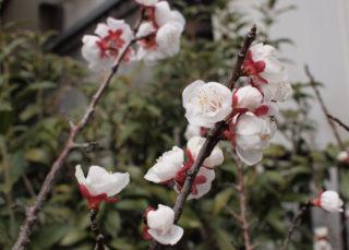 我が家の梅がやっと咲き出した