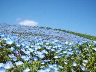 真~~~~っ青な丘はGWまではどうかなぁ~?