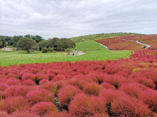 2018都道府県魅力度ランキング 見事6年連続最下位を勝ち取った茨城県のコキア
