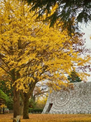 茨城県立歴史館のイチョウは平日がおススメ。