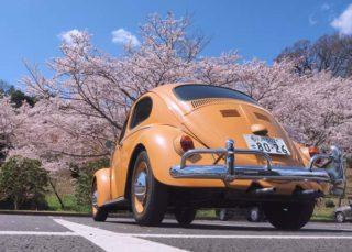 護国神社は激混み 駐車場の桜だけでも僕は満足。