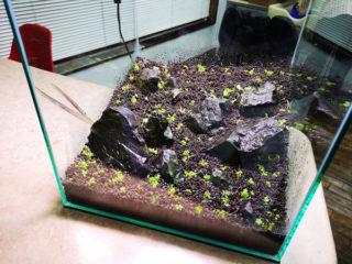 新しい30cmキューブ水槽を「緑の絨毯にしちゃおう大作戦」決行!
