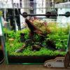 30cmキューブ水槽 シーズン2 赤と緑のモフモフ水草  立ち上げ2週目