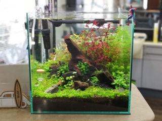 30cmキューブ水槽 シーズン2 赤と緑のモフモフ水草  立ち上げ4週目