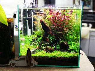 30cmキューブ水槽 シーズン2 赤と緑のモフモフ水草  立ち上げ6週目