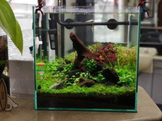 30cmキューブ水槽 シーズン2 赤と緑のモフモフ水草  立ち上げ7週目