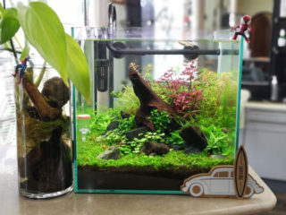 30cmキューブ水槽 シーズン2 赤と緑のモフモフ水草  立ち上げ8週目