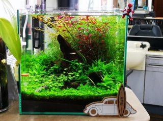 30cmキューブ水槽 シーズン2 赤と緑のモフモフ水草  立ち上げ14週目