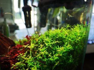 30cmキューブ水槽 シーズン2 赤と緑のモフモフ水草  立ち上げ16週目