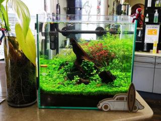 30cmキューブ水槽 シーズン2 赤と緑のモフモフ水草  立ち上げ17週目