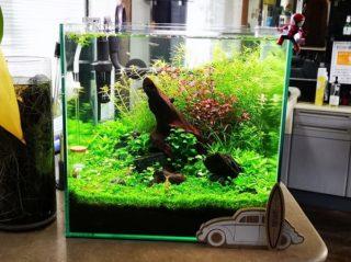 30cmキューブ水槽 シーズン2 赤と緑のモフモフ水草  立ち上げ18週目