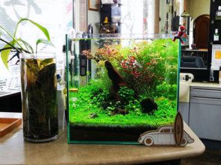 30cmキューブ水槽 シーズン2 赤と緑のモフモフ水草  立ち上げ19週目
