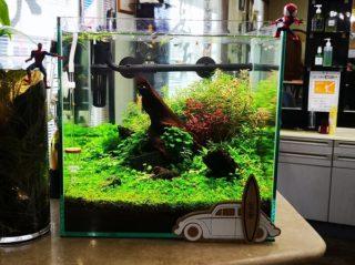 30cmキューブ水槽 シーズン2 赤と緑のモフモフ水草  立ち上げ21週目
