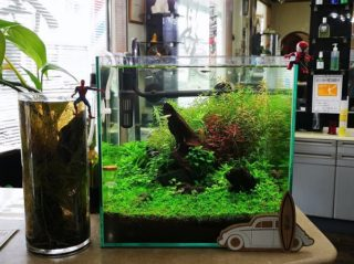 30cmキューブ水槽 シーズン2 赤と緑のモフモフ水草  立ち上げ22週目