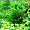 30cmキューブ水槽 シーズン2 赤と緑のモフモフ水草  立ち上げ25週目