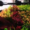 水槽の中、絶賛紅葉中~。一年中紅葉してますが・・・。