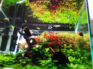 30cmキューブ水槽 シーズン2 赤と緑のモフモフ水草  立ち上げ29週目