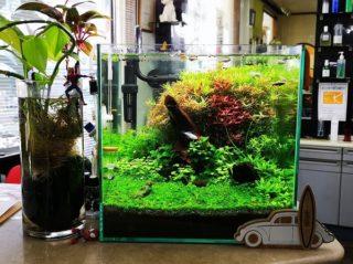 30cmキューブ水槽 シーズン2 赤と緑のモフモフ水草  立ち上げ30週目