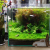 30cmキューブ水槽 シーズン2 赤と緑のモフモフ水草  立ち上げ32週目