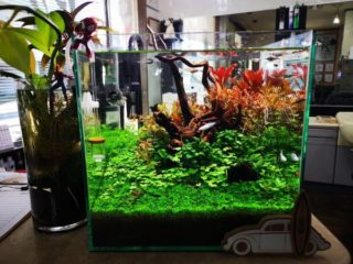 30cmキューブ水槽 シーズン3 一年中紅葉している水草水槽 3週目