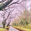 今年の桜はココで終わり。