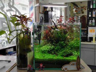 30cmキューブ水槽 シーズン3 一年中紅葉している水草水槽 18週目