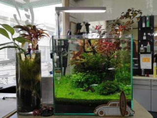 30cmキューブ水槽 シーズン3 一年中紅葉している水草水槽 19週目