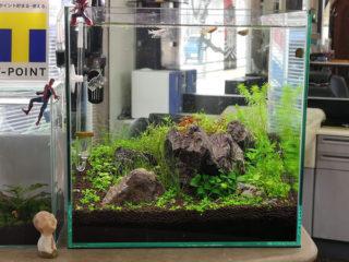 30cmキューブ水槽 シーズン4 一年中新緑一部紅葉水草水槽 1週目