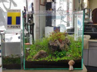 30cmキューブ水槽 シーズン4 一年中新緑一部紅葉水草水槽 2週目