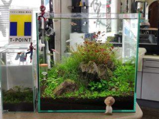30cmキューブ水槽 シーズン4 一年中新緑一部紅葉水草水槽 3週目