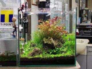 30cmキューブ水槽 シーズン4 一年中新緑一部紅葉水草水槽 4週目
