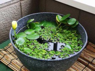 鉢の葉っぱから花が がががが。