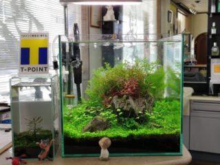 30cmキューブ水槽 シーズン4 一年中新緑一部紅葉水草水槽 9週目