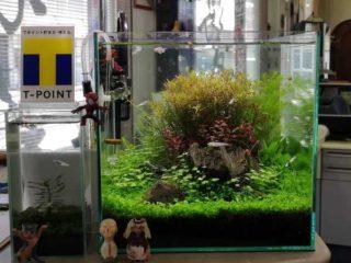 30cmキューブ水槽 シーズン4 一年中新緑一部紅葉水草水槽 11週目