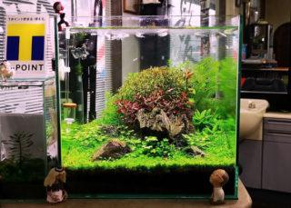 30cmキューブ水槽 シーズン4 一年中新緑一部紅葉水草水槽 13週目