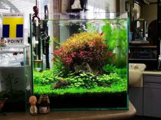 30cmキューブ水槽 シーズン4 一年中新緑一部紅葉水草水槽 15週目