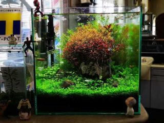 30cmキューブ水槽 シーズン4 一年中新緑一部紅葉水草水槽 19週目