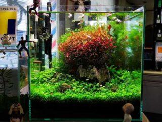 30cmキューブ水槽 シーズン4 一年中新緑一部紅葉水草水槽 20週目